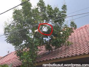 pohon jamblang yang terkutuk